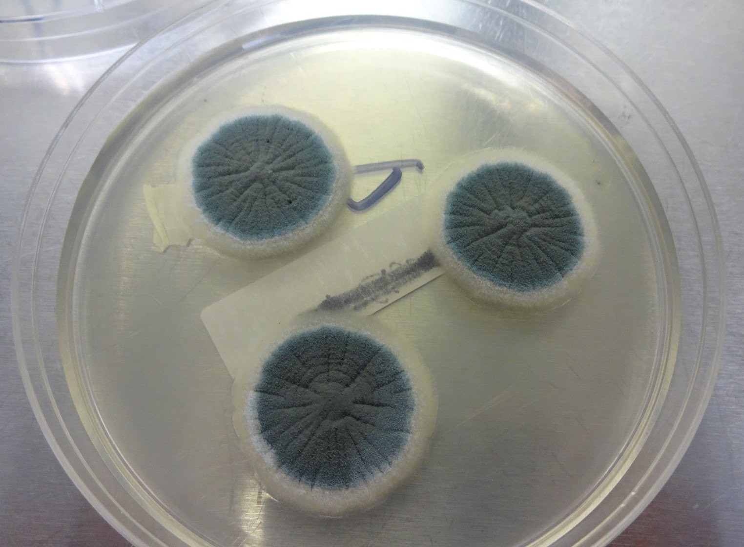 Aspergillus_colony