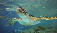 green-sea-turtle-chelonia-mydas