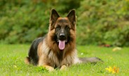German Shepherd dog disseminated mycosis