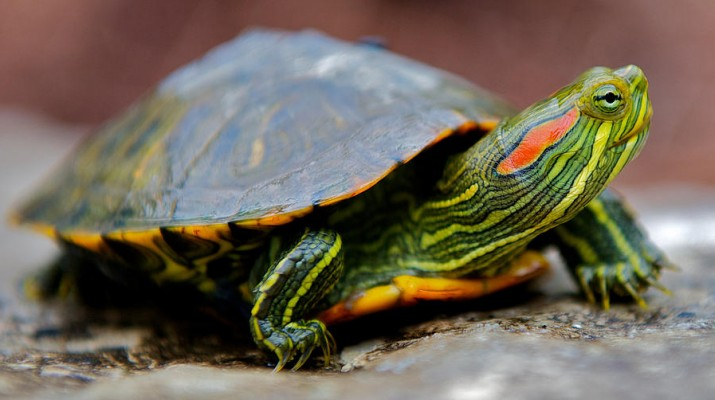 Red-Eared-Slider-Turtle