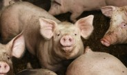 Swine_pigs_aerococcus_porcine_urinary_infection