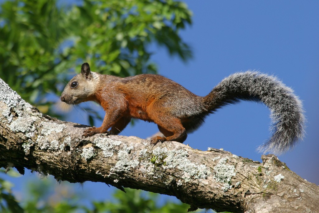 Variegated_Squirrel_Sciurus_variegatoides_zoonotic_virus