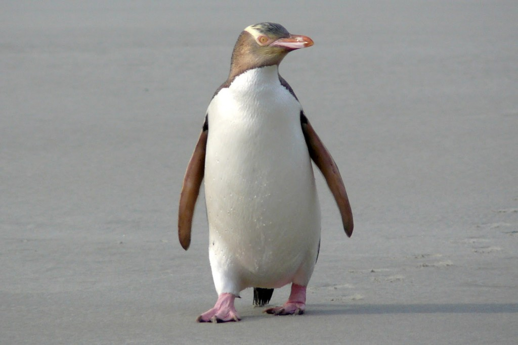 penguin Corynebacterium infection