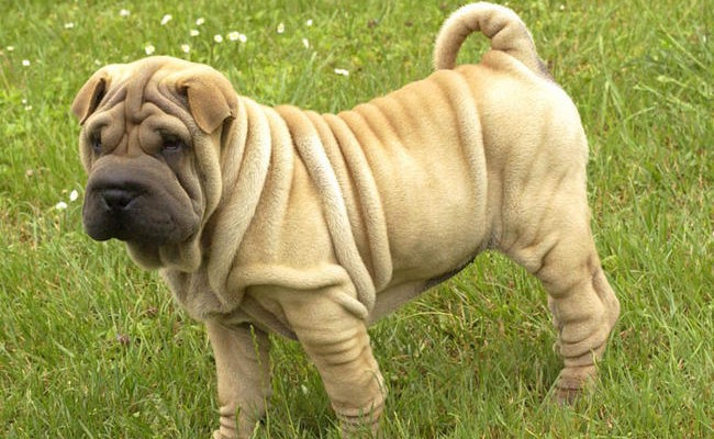 shar-pei_dog_hair